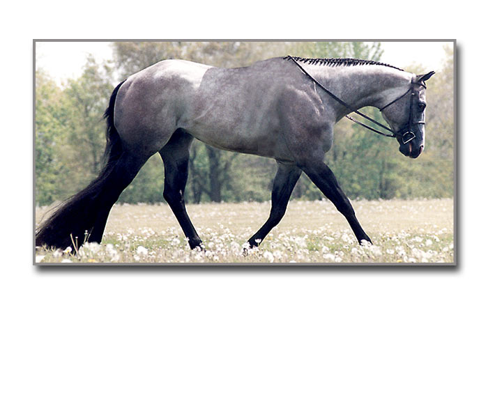 Beautiful horses for breeding (NOT SALE) IronMansideBIG